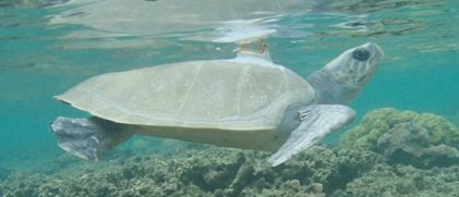 a sea turtle with an Argos PTT (credit Kelonia)