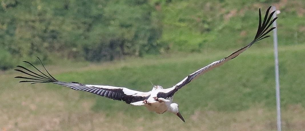 An oriental white stork with a microwave's GPS Argos PTT (photo Fukui Prefecture)