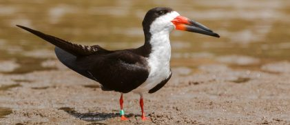an Amazonian black skimmer