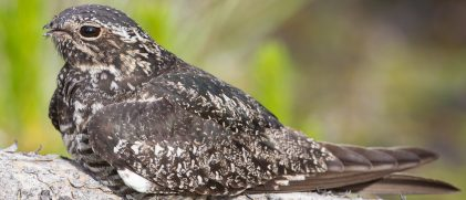 a common nighthawk on a tree branch, by day (credit Jukka Jantunen)