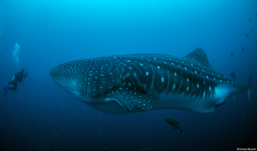 Whale Shark with Argos tag