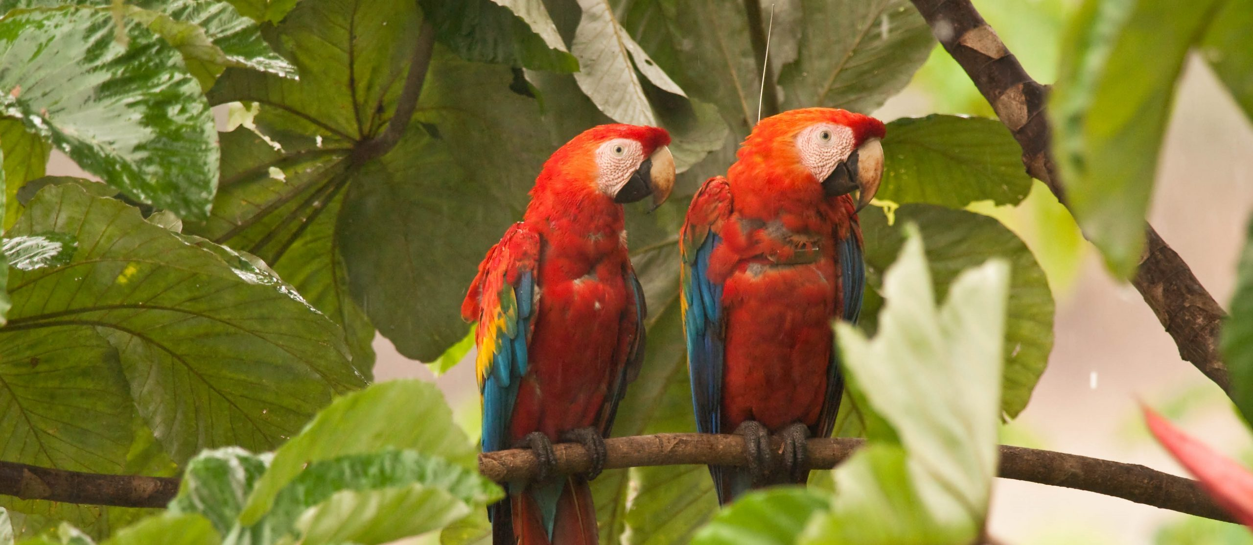 Two scarlet macaws